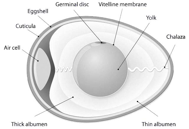 structure-of-an-egg