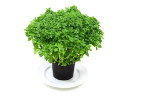 do-more-of-these-things-to-increase-immunity-basil